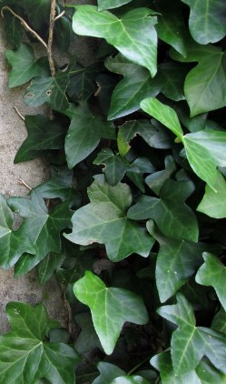 English Ivy potted plant for better sleep