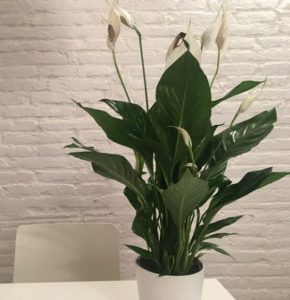 Peace Lily plant for better sleep